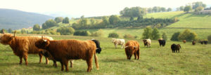 Kühe auf Weide, Panorama