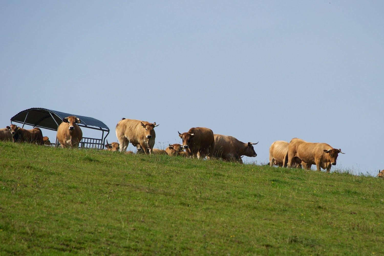 Rinder auf grüner Weide vor blauem Himmel