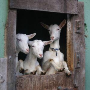 3 Ziegen schauen aus Verschlag