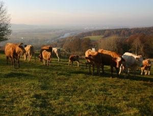 Landschaftspanorama, Rinder im Vordergrund